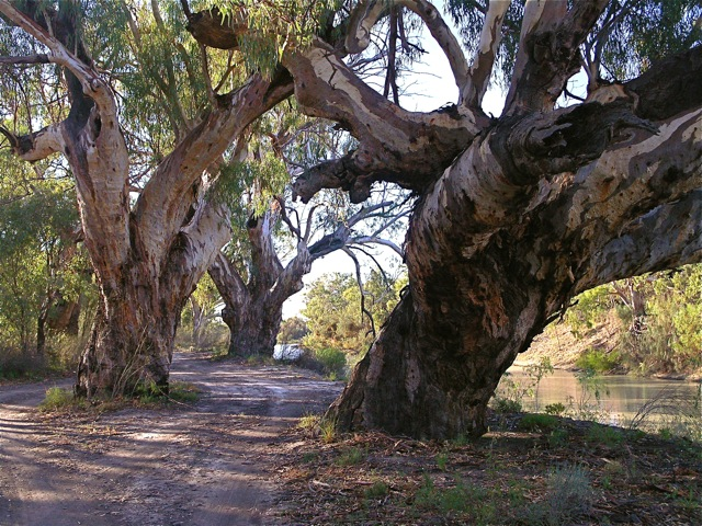 River Red Gums along the Darling River
